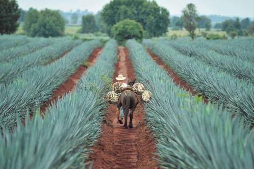 La planta de los paisajes mexicanos