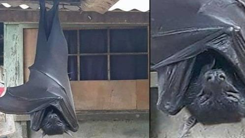 Asombra murciélago gigante en Filipinas