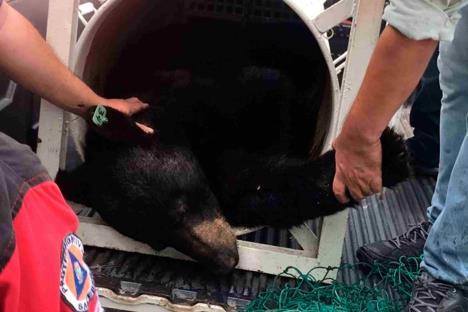 Aseguran ejemplar de oso negro en San Pedro