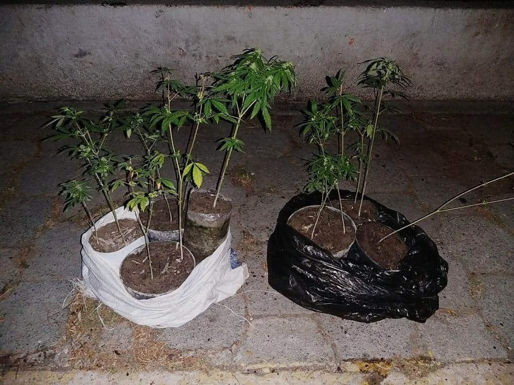 Llevaba siete plantas de marihuana dentro de un costal y una bolsa negra