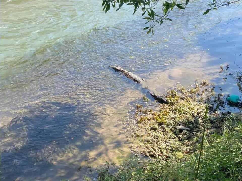 Un cocodrilo que nadaba en el Río Pilón, fue capturado ayer por elementos de Protección Civil de